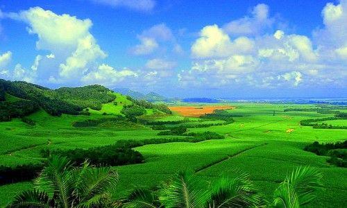 Sugarcane plantation in Mauritius