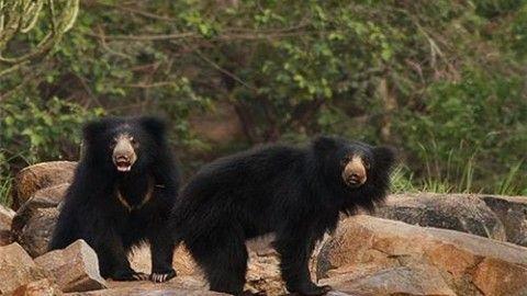 Meet our hairy friends, the Sloth Bears in Daroji Bear Sanctuary