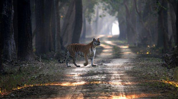 Dudhwa Tiger Reserve Tiger