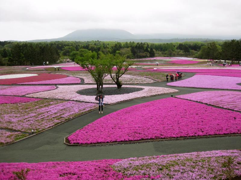 Shibazakura flowers Takinoue Park, Japan