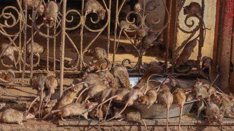 Bizarre Rat Religion – Photo Story on Deshnoke Rajasthan