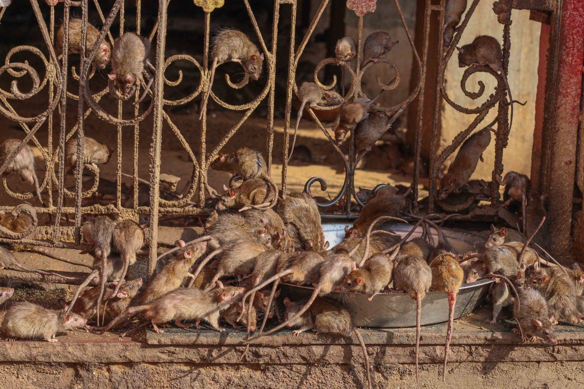 Rat temple of Rajasthan
